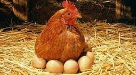 Yumurta üreticilerine  DESTEK