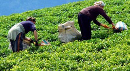 """""""Çay üreticilerinin  mağduriyeti acilen  giderilmeli"""""""