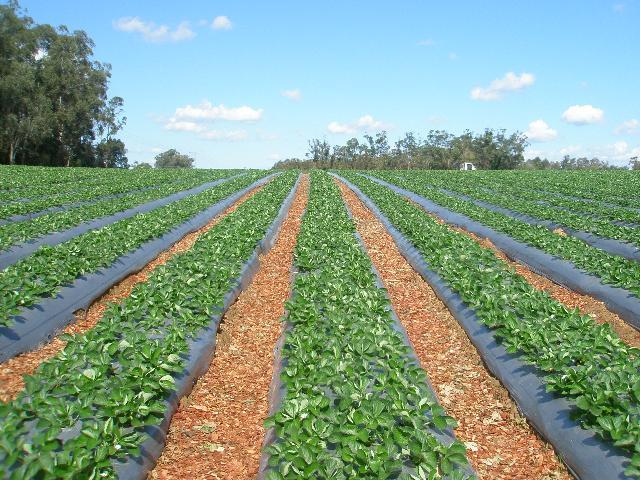 Fide üretim alanı(Çilek) tarım