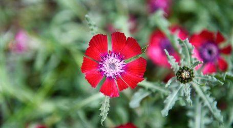 """Başkent'e özgü """"Sevgi Çiçeği"""" koruma altında"""